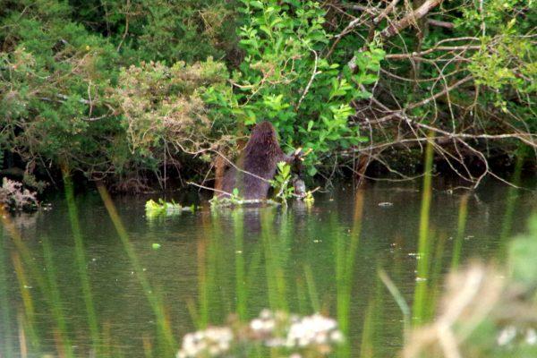 Beaver_photo1